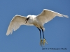 thumbs_3-little-egret