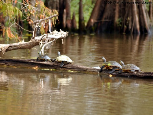 Turtles in Honey Island Swamp
