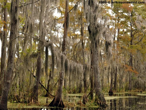 Spanish Moss adorning the trees at Honey Island Swamp