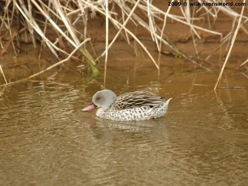 A Cape teal in the brackish water that seeps through the dunes