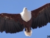 african fish-eagle 2