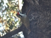 Bearded woodpecker