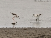 Black-winged stilt & Pied avocet