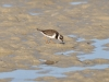 Common ringed-plover
