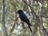 Fork-tailed drongo