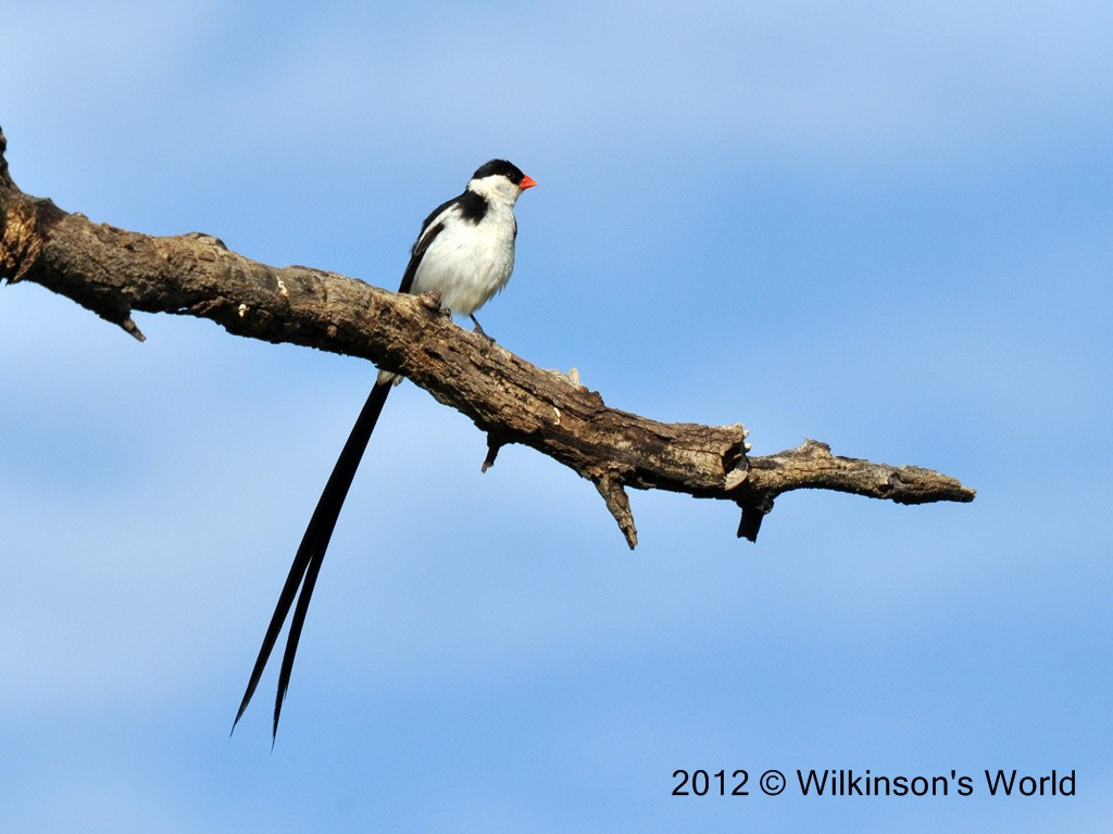 bird of the week – week 112 – pin-tailed whydah | wilkinson's world