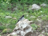 african-pied-wagtail-taken-at-kongolo-27-december-07