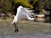 African spoonbill