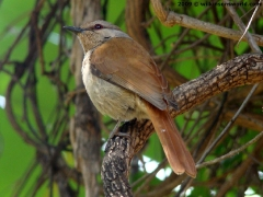 Rufous-tailed Palm Thrush