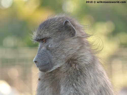 Bobby the baboon