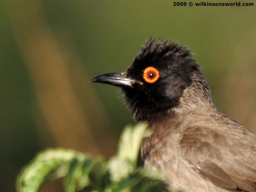 African red-eyed bulbul