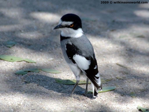 White-tailed shrike