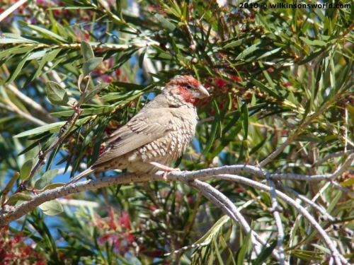 Red-headed finch