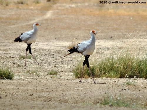 Secretary birds at watering hole