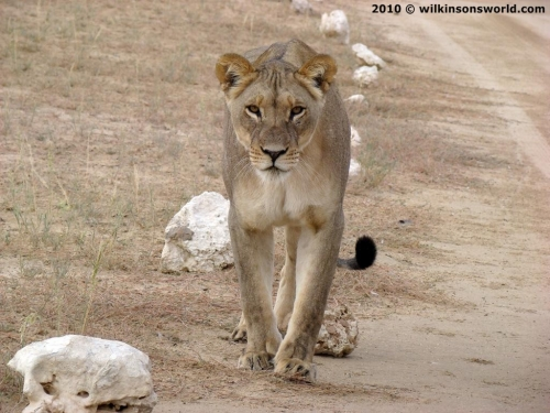 Lioness on the road to Nossob