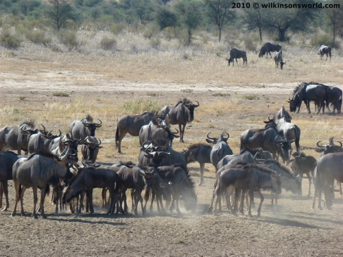 Wildebeest at Nossob