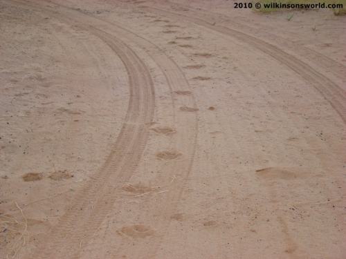 Lion tracks in the campsite