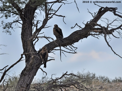 Tawny eagles with a snake