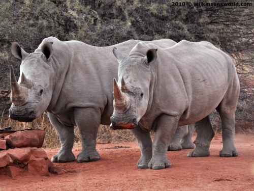 White rhinos at a water hole