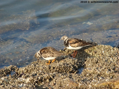 Ruddy Turnstones on the shoreline