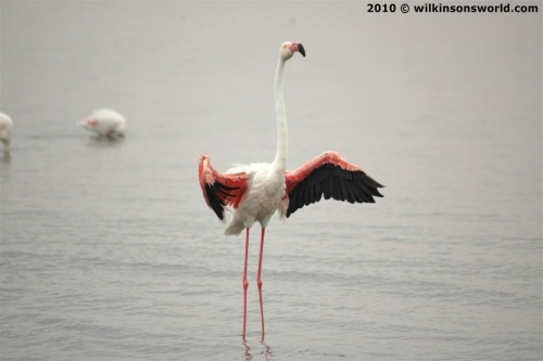 Flamingo about to fly