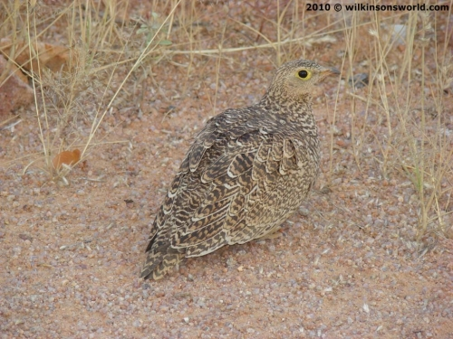 Female double-banded sandgrouse