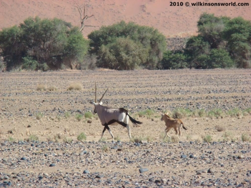 Mother & Baby - Sossusvlei