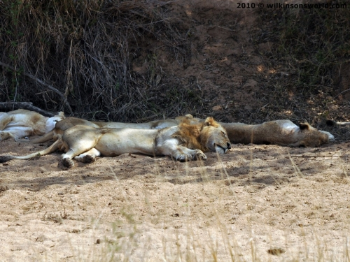 Lions sleeping in a river bed