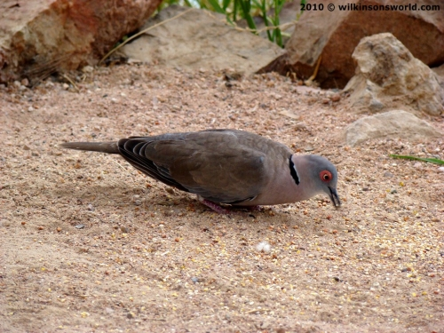 African mourning dove