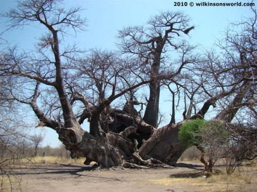 Largest Baobab - Holboom