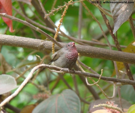 Brown firefinch - a lifer for us