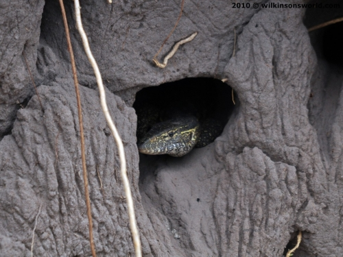 Water monitor in nest - Kwando River nesting site
