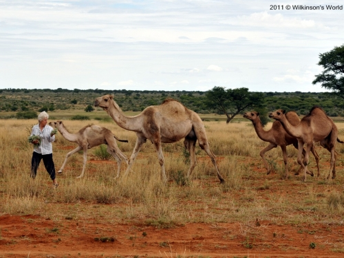 Marie-Anne entices her camels with food