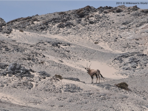 A lonely gemsbok in the desert