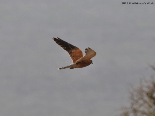 Greater kestrel