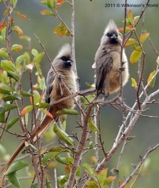Speckled-mousebird