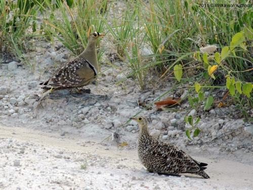 Double-banded sandgrouse (M & F)