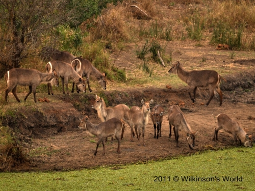 Small herd of mostly females