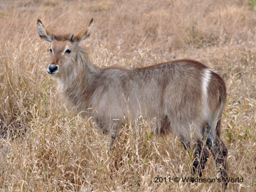 A young male waterbuck