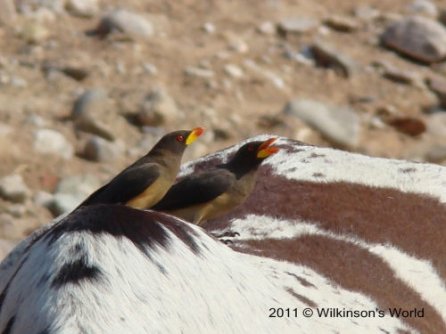 Yellow-billed oxpecker on a domestic ox