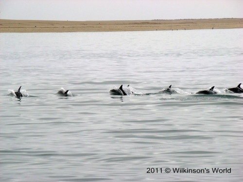 Dusky dolphins frolic in the bay