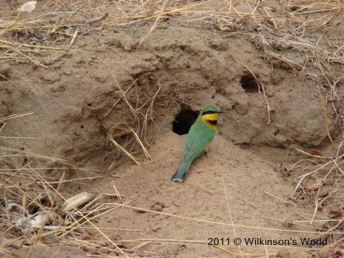 Bee-eaters nest in banks