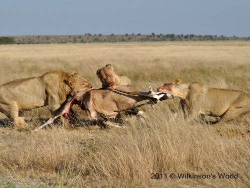 Lion kill at Passarge Valley Botswana