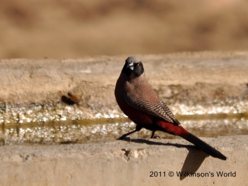 Black faced waxbill