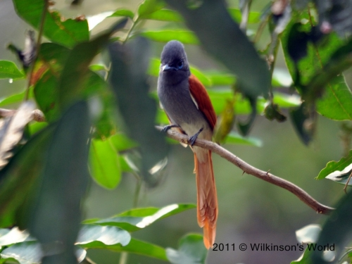 African paradise-flycatcher