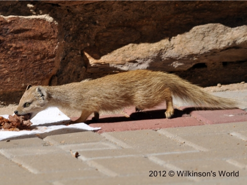 Yellow mongoose - our guest arrives