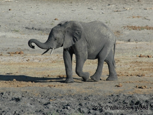 Young African elephant - Chobe