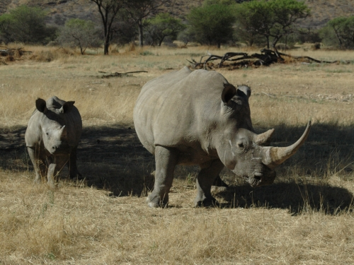Mother and baby White rhinoceros