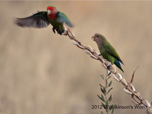 Adult and juvenile Rosy-faced lovebirds