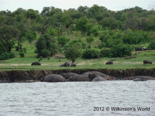 A big pod of hippos